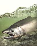 Pacific coho silver salmon fish running down the stream. In North America, coho salmon is a game fish in fresh and salt water from July to December royalty free stock images