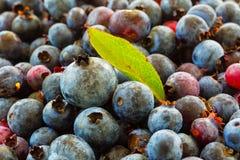 North America Lowbush Blueberries. Freshly picked wild low bush blueberries stock photography
