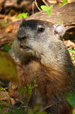 North America Marmot Royalty Free Stock Images