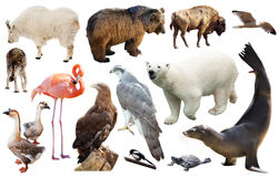 North american animals isolated Royalty Free Stock Photos