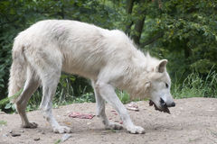 North American Arctic Wolf Stock Photos
