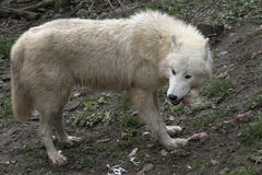 North American Arctic Wolf Royalty Free Stock Photos
