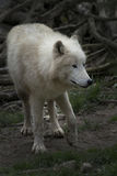 North American Arctic Wolf Stock Image