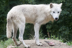 North American Arctic Wolf Stock Photography