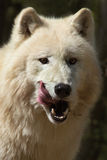 North American Arctic Wolf Royalty Free Stock Image