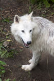 North American Arctic Wolf Royalty Free Stock Photography