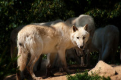 North American Arctic Wolfs Stock Images