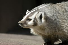 North American Badger Royalty Free Stock Image
