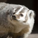 North American Badger Portrait Royalty Free Stock Photo