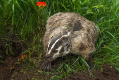 North American Badger Taxidea taxus Bluff Charges. Captive animal stock image