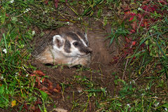 North American Badger (Taxidea taxus) in Den Royalty Free Stock Image
