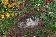 North American Badger (Taxidea taxus) in Den Sniffs Leaf Stock Photos
