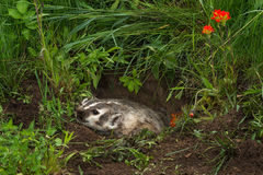 North American Badger Taxidea taxus Flattens Himself in Den Royalty Free Stock Photo