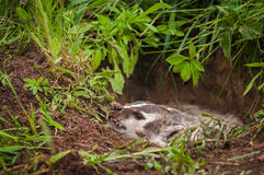 North American Badger Taxidea taxus Flattens Left Stock Images