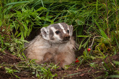 North American Badger Taxidea taxus Gazes Out of Den Stock Photo
