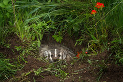 North American Badger Taxidea taxus Glares Out from Within Den Stock Image