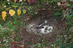 North American Badger (Taxidea taxus) Guards Den Royalty Free Stock Photography