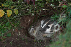 North American Badger (Taxidea taxus) Looks Left from Den Royalty Free Stock Photos