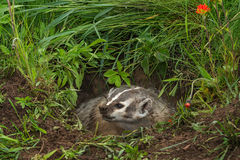 North American Badger Taxidea taxus Looks Left Teeth Bared. Captive animal Royalty Free Stock Photography