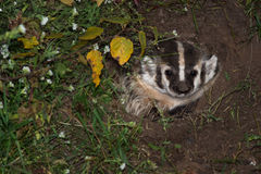 North American Badger (Taxidea taxus) Looks Out from Den Stock Image