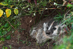 North American Badger (Taxidea taxus) Looks Out from Den Royalty Free Stock Image