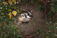 North American Badger (Taxidea taxus) Looks Right from Inside De Royalty Free Stock Photography