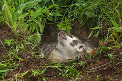 North American Badger Taxidea taxus Looks Up Out of Den Stock Photography