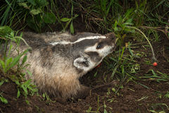 North American Badger Taxidea taxus Lunges Right Stock Images
