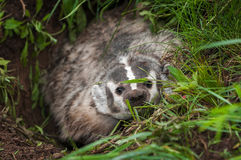 North American Badger Taxidea taxus Peers Angrily Out of Den Royalty Free Stock Photography