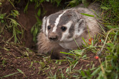 North American Badger Taxidea taxus Peers Out From Den Royalty Free Stock Photography