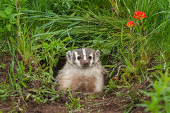 North American Badger (Taxidea taxus) Sits in Den Royalty Free Stock Photos