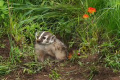 North American Badger (Taxidea taxus) Sits in Den Entrance Stock Photo