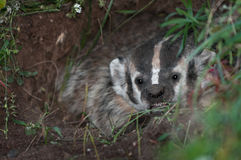 North American Badger (Taxidea taxus) Snarls Stock Photography