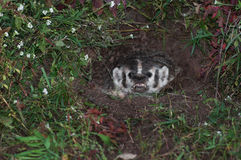 North American Badger (Taxidea taxus) Snarls From Den Stock Photo