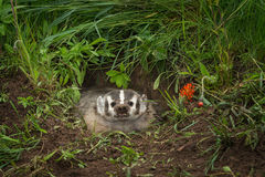 North American Badger Taxidea taxus Snarls Out of Den Royalty Free Stock Photos