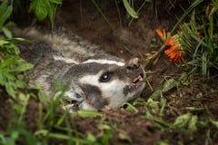 North American Badger Taxidea taxus Snarls Right Closeup Stock Image