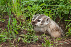 North American Badger (Taxidea taxus) Snarls Up Out of Den Stock Images