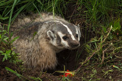 North American Badger Taxidea taxus Stands In Den to Right Stock Photo