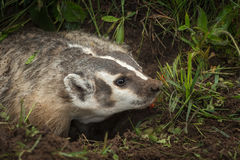 North American Badger Taxidea taxus Stares Right Stock Photos