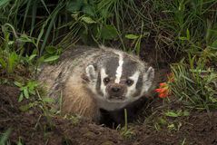 North American Badger Taxidea taxus Steps Up Out of Den Royalty Free Stock Photos
