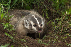 North American Badger Taxidea taxus Sticks Out Tongue Stock Photography