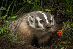 North American Badger Taxidea taxus Tongue Out Royalty Free Stock Photo