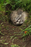 North American Badger Taxidea taxus Turns in Den Stock Photo