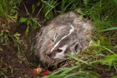 North American Badger Taxidea taxus Wrinkles Nose Stock Photo