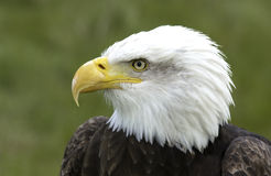 North American Bald Eagle. The North American Bald Eagle (Haliaeetus leucocephalus) is the national bird and symbol of the United States of America Stock Photography