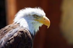 North American Bald Eagle Royalty Free Stock Photo