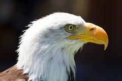 North American Bald Eagle Royalty Free Stock Image