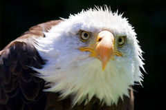 North American Bald Eagle Royalty Free Stock Photography