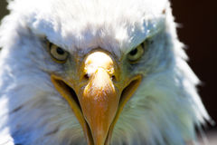 North American Bald Eagle stock photo