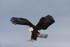 North American Bald Eagle Landing. Adult North American Bald Eagle Landing Stock Photo
